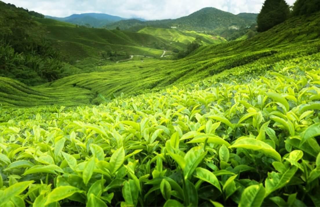 Comment le thé est-il fabriqué
